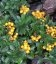 Pyracantha coccinea 'Golden Charmer', Пираканта ярко-красная 'Голден Чармер'