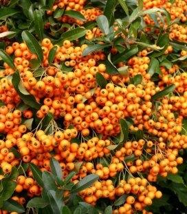 Pyracantha coccinea 'Orange Charmer', Пираканта ярко-красная 'Оранж Чармер'