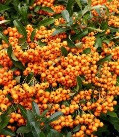 Pyracantha 'Orange Charmer' Пираканта 'Оранж Чармер'