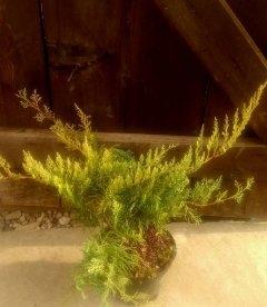 Juniperus virginiana 'Golden Spring' Ялівець віргінський 'Голден спрінг'