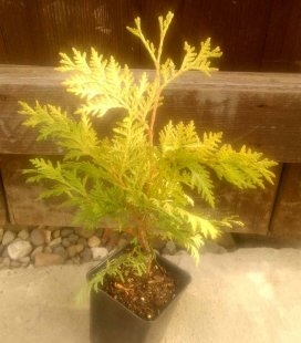 Thuja occidentalis 'Wareana Lutescens' Туя західна