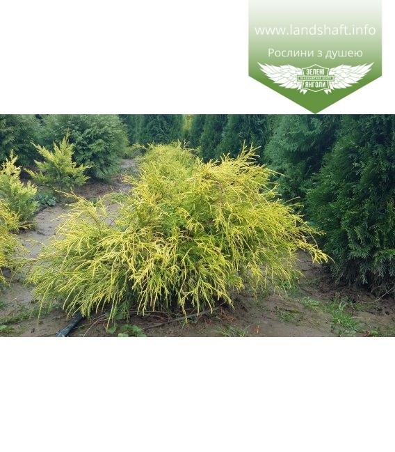 Chamaecyparis pisifera 'Filifera Aurea', Кипарисовик горохоплідний 'Філіфера Ауреа'