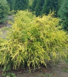 Chamaecyparis pisifera 'Filifera Aurea Nana' Кипарисовик горохоплодный