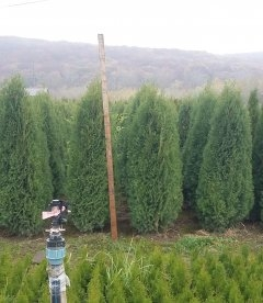 Thuja occidentalis 'Zakany Soveny' Туя западная