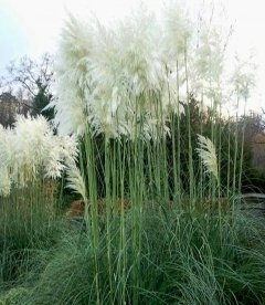 Cortaderia selloana 'White Plume' Кортадерия Селло 'Вайт Плюм'