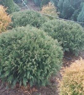 Thuja occidentalis 'Umbraculifera' Туя западная