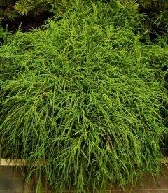 Chamaecyparis pisifera 'Filifera Nana', Кипарисовик горохоплідний 'Філіфера Нана'