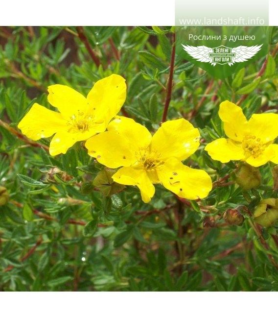 Potentilla fruticosa 'Goldfinger', Лапчатка кущова 'Голдфінгер'