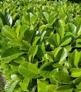Prunus laurocerasus Лавровишня лекарственная