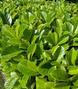 Prunus laurocerasus, Лавровишня