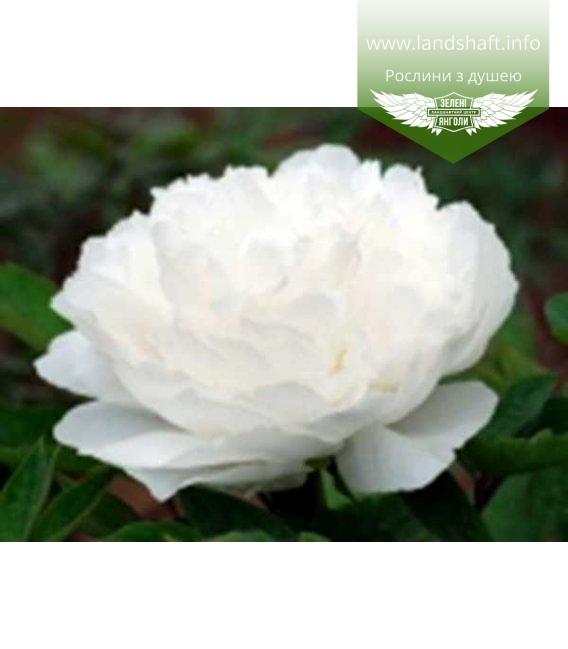 Paeonia suffruticosa 'Bai Xue Gong Zhu / White Snow', Півонія деревовидна 'Bai Xue Gong Zhu / White Snow'