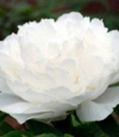 Paeonia suffruticosa 'White Snow', Пион древовидный 'Вайт Сноу'
