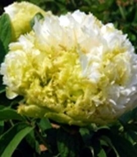 Paeonia suffruticosa 'Chun Liu / Spring Willow', Півонія деревовидна 'Chun Liu / Spring Willow'