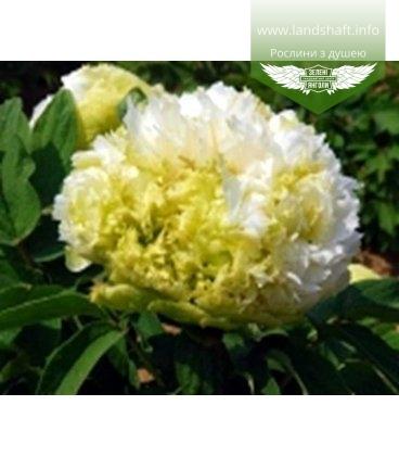 Paeonia suffruticosa 'Spring Willow' Пион древовидный 'Спринг Уиллоу'