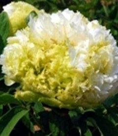Paeonia suffruticosa 'Spring Willow', Пион древовидный 'Спринг Уиллоу'