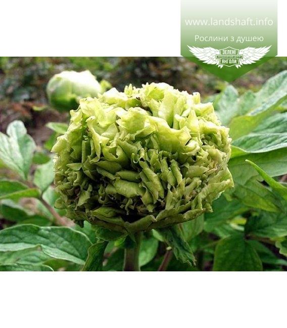 Paeonia suffruticosa 'Chun Liu / Spring Willow', Півонія деревовидна 'Chun Liu / Spring Willow'
