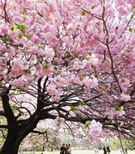 Prunus serrulata 'Kanzan-Zakura', Вишня дрібнопильчаста 'Канзан' сакура