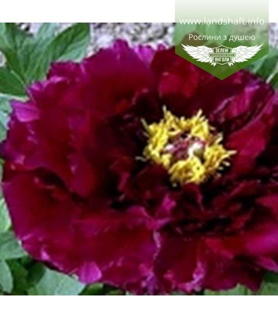 Paeonia suffruticosa 'Shima-nishiki' Пион древовидный 'Шима-Нишики'