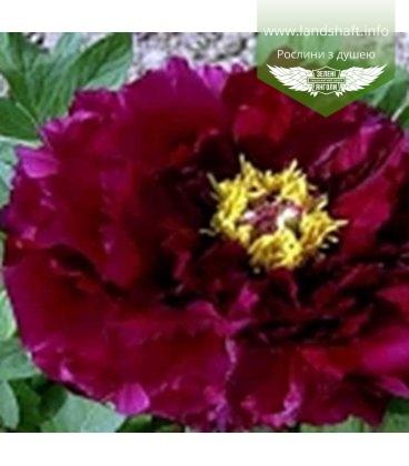 Paeonia suffruticosa 'Mo Run Jue Lun / The Best Inkstone', Півонія деревовидна 'Mo Run Jue Lun / The Best Inkstone'