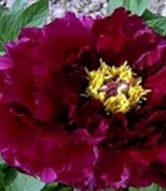 Paeonia suffruticosa 'Best Inkstone', Пион древовидный 'Бест Инкстоун'
