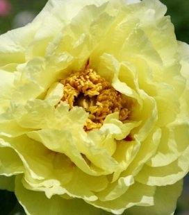 Paeonia suffruticosa 'High Noon', Пион древовидный 'Хай Нун'