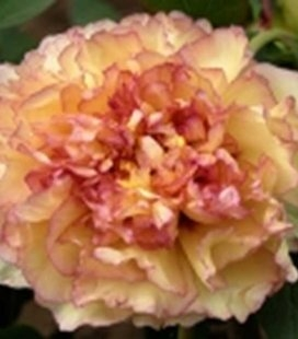 Paeonia suffruticosa 'Kinkaku', Пион древовидный 'Кинкаку'