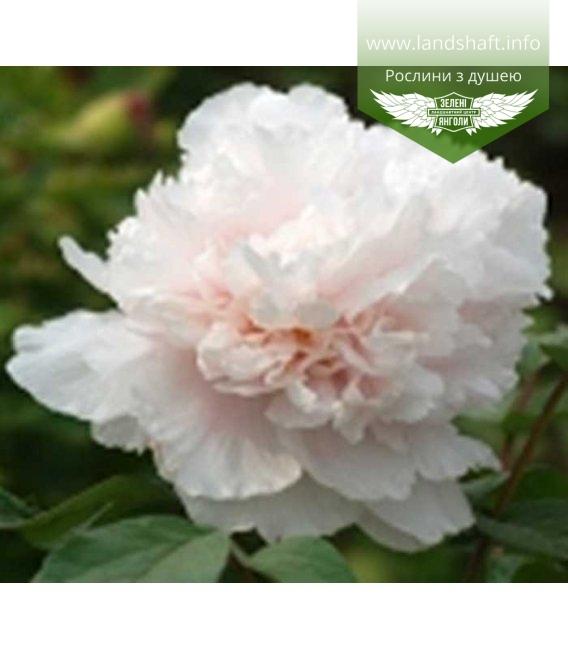 Paeonia suffruticosa 'Name of The Breeder' Пион древовидный