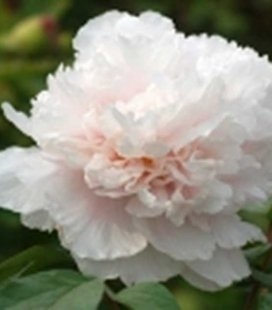 Paeonia suffruticosa 'Jing Yu / Name of The Breeder', Півонія деревовидна 'Jing Yu / Name of The Breeder'