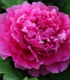 Paeonia suffruticosa 'Lu He Hong / Heze Red, Півонія деревовидна Lu He Hong / Heze Red'