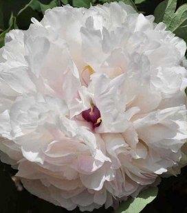 Paeonia suffruticosa 'Fragrant Jade', Пион древовидный 'Фрагрант Жад'