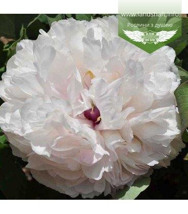 Paeonia suffruticosa 'Xiang Yu / Fragrant Jade', Півонія деревовидна 'Xiang Yu / Fragrant Jade'