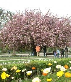 Prunus serrulata 'Kanzan' Сакура