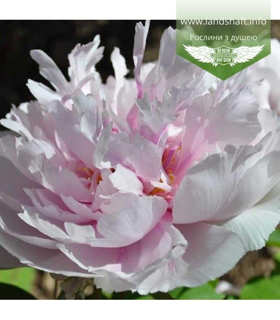 Paeonia suffruticosa 'Peach Blossom Covered With Snow' Пион древовидный