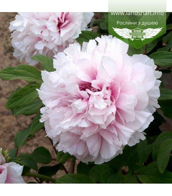 Paeonia suffruticosa 'Xue Ying Tao Hua / Peachblossom Covered with Snow', Півонія деревовидна 'Xue Ying Tao Hua / Peachblossom C