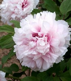 Paeonia suffruticosa 'Xue Ying Tao Hua / Peachblossom Covered with Snow', Півонія деревовидна 'Xue Ying Tao Hua / Peachblossom C