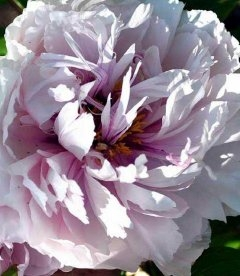 Paeonia suffruticosa 'Peach Blossom Covered With Snow' Пион древовидный