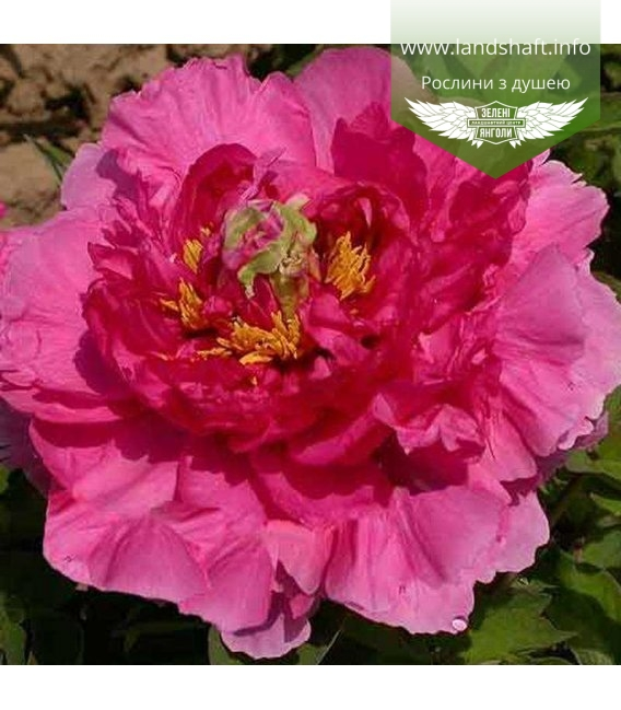 Paeonia suffruticosa 'Ying Ri Hong / Red Welcoming the Sun', Півонія деревовидна 'Ying Ri Hong / Red Welcoming the Sun'