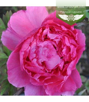 Paeonia suffruticosa 'Ying Ri Hong / Red Welcoming the Sun', Півонія деревовидна 'Ying Ri Hong / Red Welcoming the Sun'
