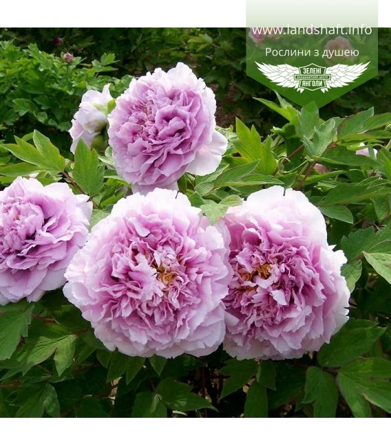 Paeonia suffruticosa 'Charming Sights after Rain' Пион древовидный