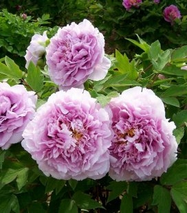 Paeonia suffruticosa 'Charming Sights after Rain', Пион древовидный 'Чарминг Сайтс Афтер Рейн'
