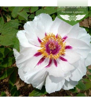 Paeonia suffruticosa 'Yue Gong Zhu Guang / Fairy Moon', Півонія деревовидна 'Yue Gong Zhu Guang / Fairy Moon'