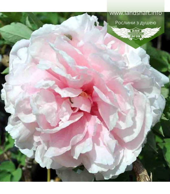 Paeonia suffruticosa 'Zhao's Pink' Пион древовидный