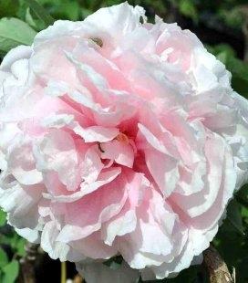 Paeonia suffruticosa 'Zhao's Pink', Пион древовидный 'Жаос Пинк'