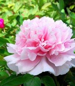 Paeonia suffruticosa 'Zhao Fen / Zhao's Pink', Півонія деревовидна 'Zhao Fen / Zhao's Pink'
