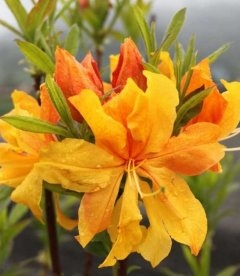 Azalea pontica 'Csardas' Азалия желтая 'Чардаш'