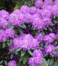 Rhododendron 'Alfed', Рододендрон 'Альфред'