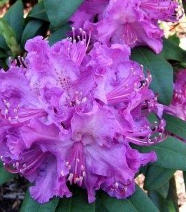 Rhododendron 'Alfed' Рододендрон 'Алфред'Rhododendron 'Alfed' Рододендрон 'Алфред'
