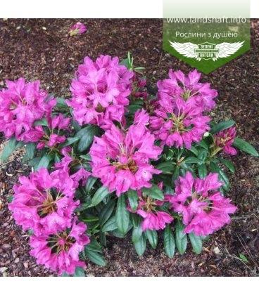 Rhododendron 'Boleslaw Hrobry' Рододендрон 'Болеслав Хробры'
