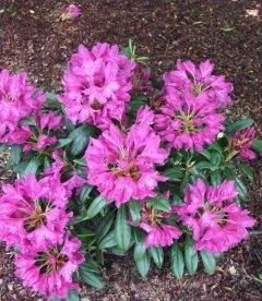 Rhododendron 'Boleslaw Hrobry', Рододендрон 'Болеслав Хробри'