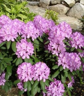 Rhododendron 'Roseum Elegans', Рододендрон 'Розеум Элеганс'